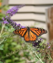 Our butterfly garden attracts many different lepidopterans.