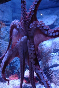 A giant Pacific octopus is very smart.