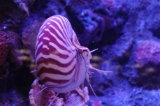 The only cephalopod with a shell is a nautilus. In the picture is a chambered nautilus.