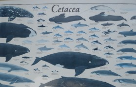 The idea for my post came from this poster of Cetacea that was on the boat.