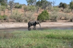 An elephant taking a drink. Okavango Delta, Botswana.