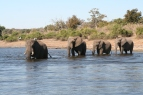 A bachelor herd in the Okavango Delta, Botswana.