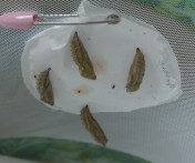After the caterpillars became chrysalides, we moved them into a butterfly habitat.