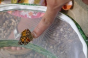 We released the Painted Lady butterflies in our garden.