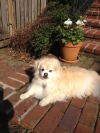 Midas was a beautiful Tibetan Spaniel!