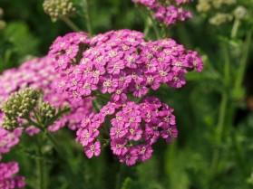 Yarrow (image from www.calgaryplants.com)