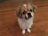 "Coco is very smart and quickly learned many commands such as ""sit"" and ""wait."""