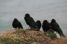 Chattering of choughs (image from pinterest)