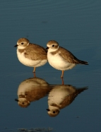 Congregation of plovers (image from caribbeanbirdingtrail.org)