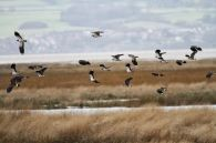 Deceit of lapwings (photo from pinterest)