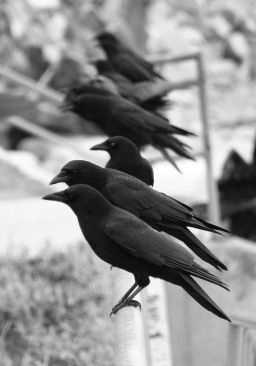 Murder of crows (image from pinterest)