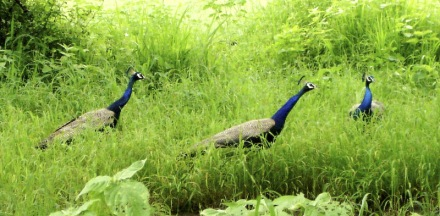 Ostentation of peacocks (image from Treknature.com)