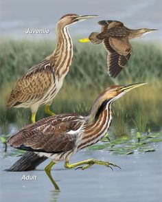 A sedge of bitterns (image from pinterest)