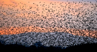 A murmuration of starlings (image from www.theguardian.com)