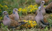 A dole of turtle doves (image from www.express.co.uk)