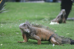 Iguanas found in the Parque de las Iguanas are different from those found on the Galapagos Islands.